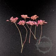 5packs 4-6cm pink DIY dry pressed flower for pendant charm jewelry 12pcs each pack 1503180-2