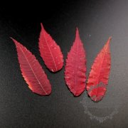 5packs 7-10cm DIY dry pressed flower leaf for pendant charm jewelry 12pcs each pack 1503183-1